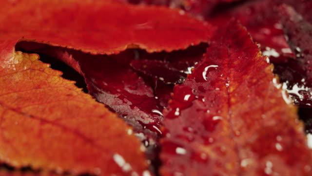 makro-dia-aufnahme einer matte aus roten blättern in einem garten in einem herbsttag. - ahorn stock-videos und b-roll-filmmaterial