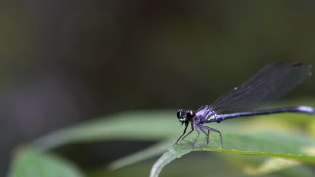 macro slow motion blue-tailed damselfly, ischnura elegans flapping its wings - libellulidae video stock e b–roll