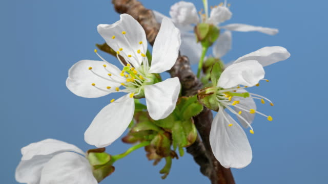Macro time lapse apple tree flowers opening on blue background close-up