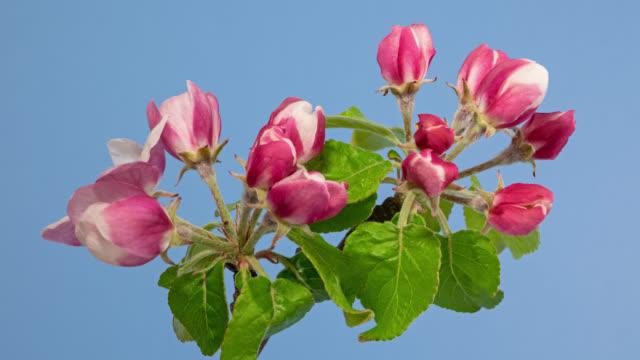 makro tid förfaller äppelträd blommor öppning på blå bakgrund - äppelblom bildbanksvideor och videomaterial från bakom kulisserna