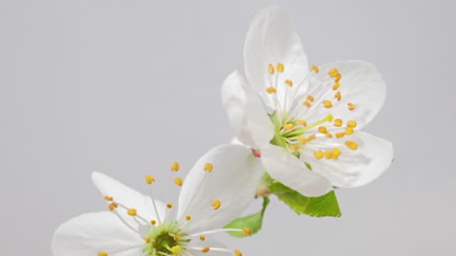 Macro time lapse apple tree flowers opening on white background close-up