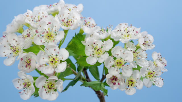 Macro time lapse hawthorn tree flowers opening on blue background