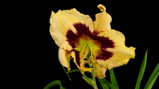 Macro time lapse opening and wilting Hemerocallis (Daylily) flower, isolated on pure black background