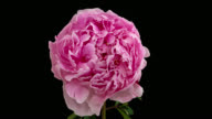 istock Macro time lapse opening and wilting peony flower, isolated on pure black background 1252940573