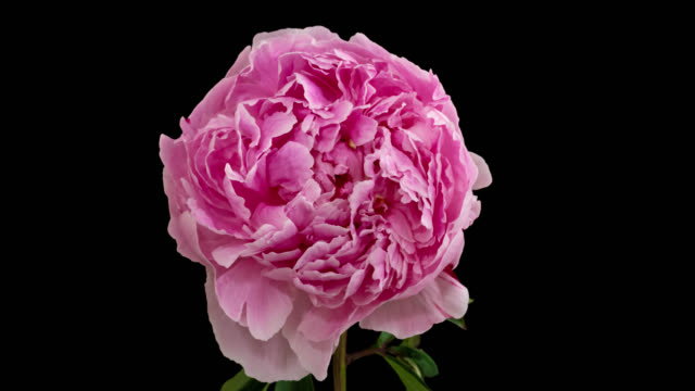 Macro time lapse opening and wilting peony flower, isolated on pure black background