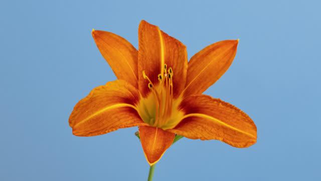vídeos de stock, filmes e b-roll de macro time lapse abertura e murcha selvagem orange lily (fire lily ou tiger lily) flor, isolado no fundo azul - flor