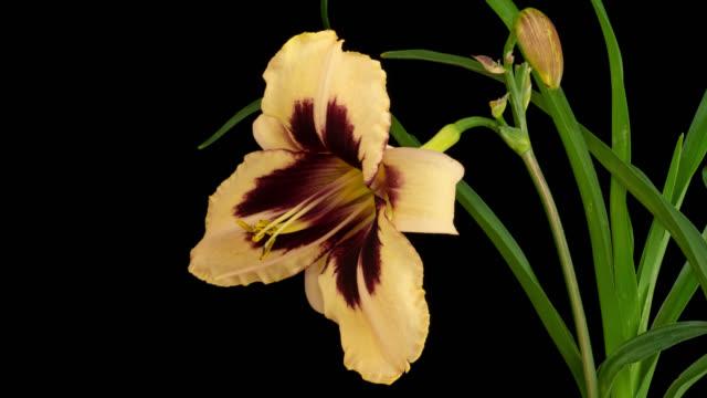 Macro time lapse opening Hemerocallis (Daylily) flower, isolated on pure black background
