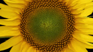 istock Macro time lapse opening Sunflower Head, isolated on pure black background 1257369084