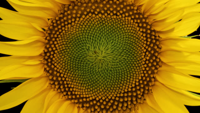 vídeos de stock e filmes b-roll de macro time lapse opening sunflower head, isolated on pure black background - florescer