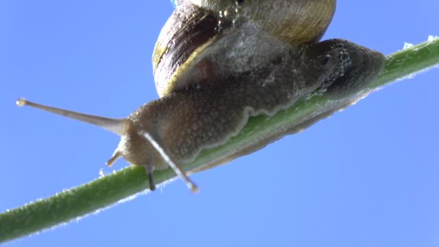 Macro UHD Video Of Snail Walking On Plant Branch video