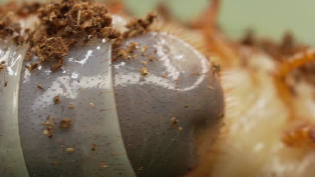 macro undulating grub beetle larvae on the move