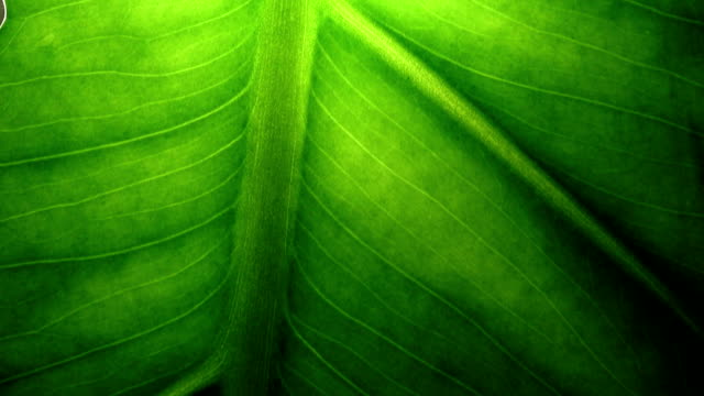Macro video of green leaf. Concept nature and ecology.