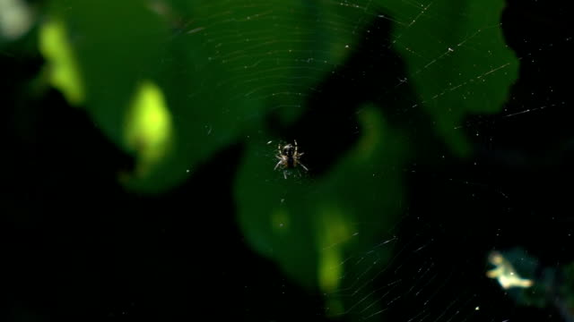Macro Video Of Spider On Its Web video