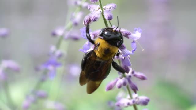 makro syn på snickare bee samla pollen från purple sage blomma - pollinering bildbanksvideor och videomaterial från bakom kulisserna