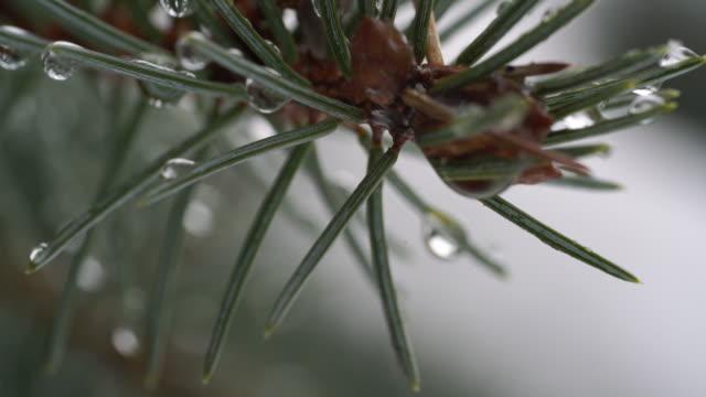 vista di macro di aghi di pino con acqua goccioline - pinacee video stock e b–roll
