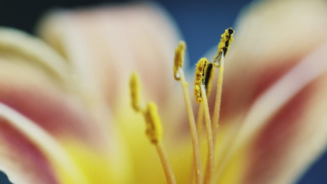 Macro yellow orange Lily flower
