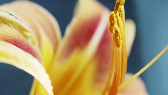 Macro yellow orange Lily flower