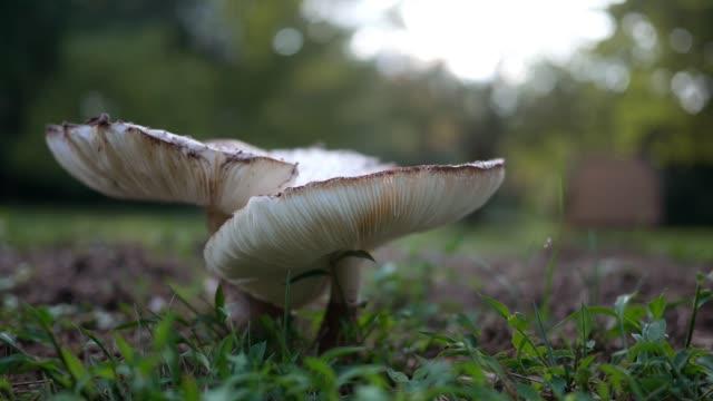 太陽光で macrolepiota アメリカーナ - 裏庭で一般的な芝生キノコ- - 自生点の映像素材/bロール