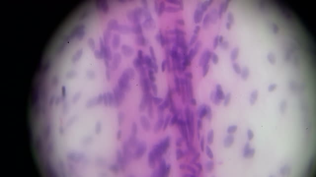 Macrophages cells under microscope video