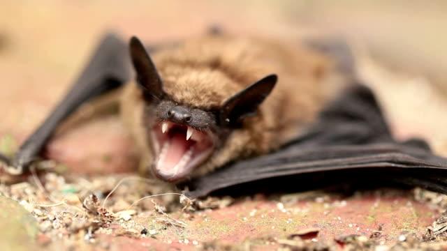 mad bat - däggdjur bildbanksvideor och videomaterial från bakom kulisserna