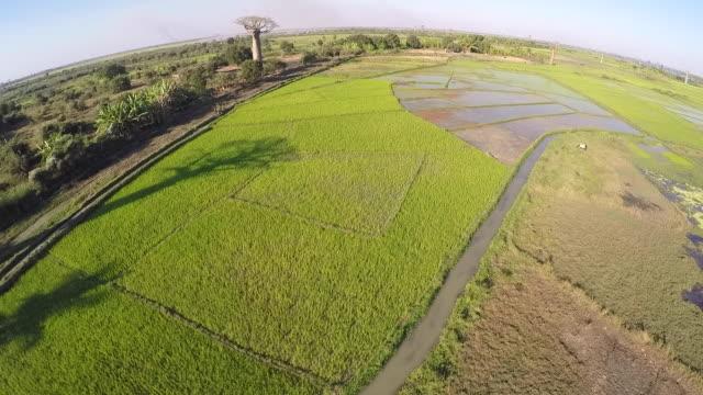 madagaskar baobab träd i ris fält landskap inställning - morondava bildbanksvideor och videomaterial från bakom kulisserna