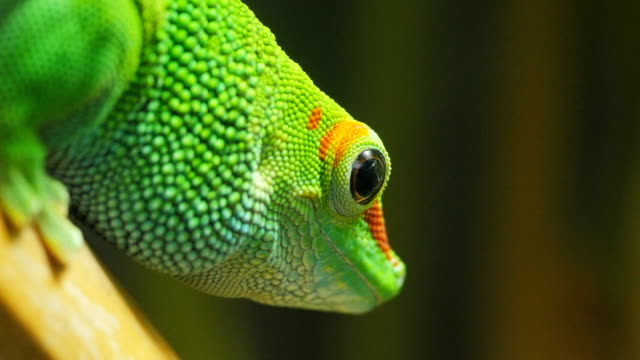 madagascar giant day gecko close up close up of a madagascar giant day gecko gecko stock videos & royalty-free footage