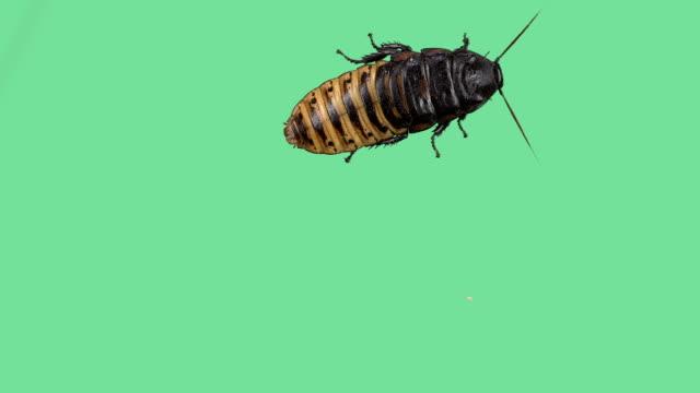 madagaskar-fauchschabe auf grünen bildschirm - käfer stock-videos und b-roll-filmmaterial