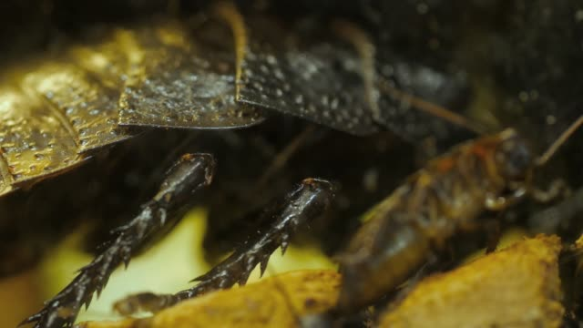 Madagascar hissing cockroaches- macro of legs and body A macro shot, from side, showing legs and body. A young cockroach is in the foreground, blurred focus. goosebumps stock videos & royalty-free footage