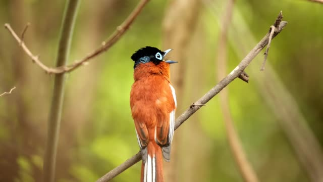 Madagascar Paradise Flycatcher male a Flycatcher sits in a tree calling in south central Madagascar madagascar stock videos & royalty-free footage