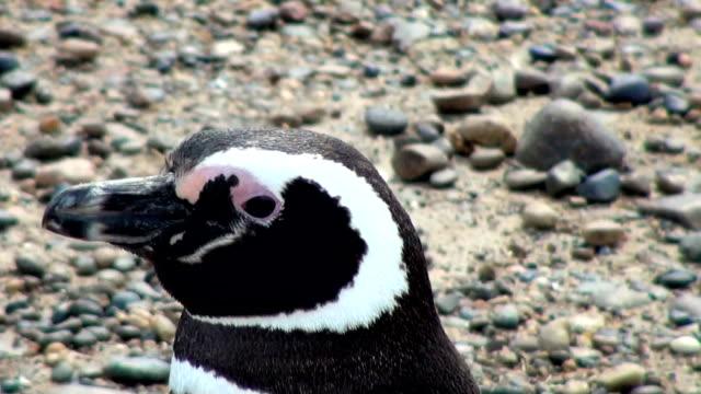 Magellanic Penguin of Punta Tombo Patagonia video