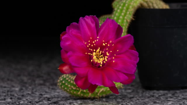 Magenta Flower Timelapse Of Blooming Cactus