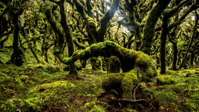 Magic beauty of green forest nature trees covered with moss in new Zealand wilderness Time lapse