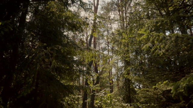 magical green forest of spruce and pines – film