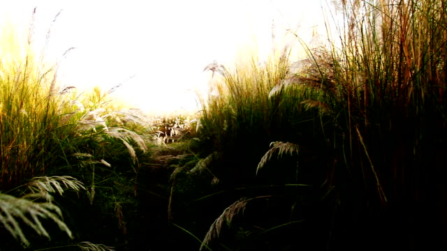 Magical nature Dreamlike magical nature pampas grass background. blade of grass stock videos & royalty-free footage