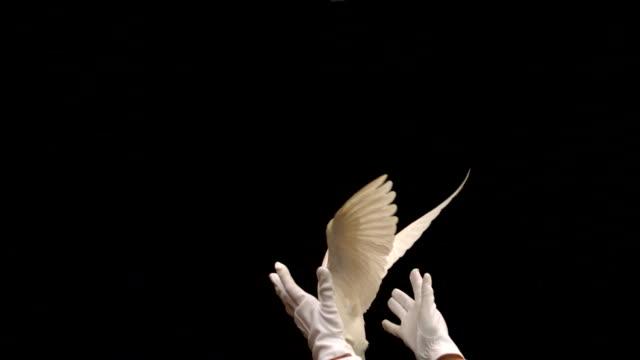 mago rilasciare una colomba bianca su sfondo nero - colomba video stock e b–roll