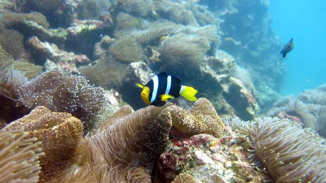 Anémona magnífica (Heteractis magnifica) también conocido como anémona de Ritteri, con el pez payaso Clark (Amphiprion clarkii).  Arrecife de coral mar de ecosistema frágil entorno, Hin Daeng (roca roja), Krabi, Tailandia. - vídeo
