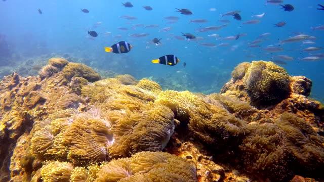 magnificent anemone (heteractis magnifica) aka ritteri anemone, with clark's anemone clownfish (amphiprion clarkii) - 20 sekund lub dłużej filmów i materiałów b-roll