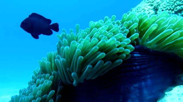 Anémona magnífica (Heteractis magnifica) también conocido como anémona de Ritteri, con tres Spot melanurus (melanurus trimaculatus) damisela.  Arrecife de coral mar de ecosistema frágil entorno, Hin Daeng (roca roja), Krabi, Tailandia. - vídeo