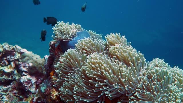 vidéos et rushes de magnifique anémone (heteractis magnifica) avec shoal trois spot dascyllus demoiselle (dascyllus trimaculatus) sur la barrière de corail - mer d'andaman