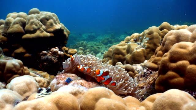Anémona magnífica (Heteractis magnifica) con Western anémona de peces payaso (Amphiprion ocellaris). Medio ambiente de los frágiles arrecifes de Coral ecosistema océano, Koh Haa, mar de Andamán, Krabi, Tailandia. - vídeo