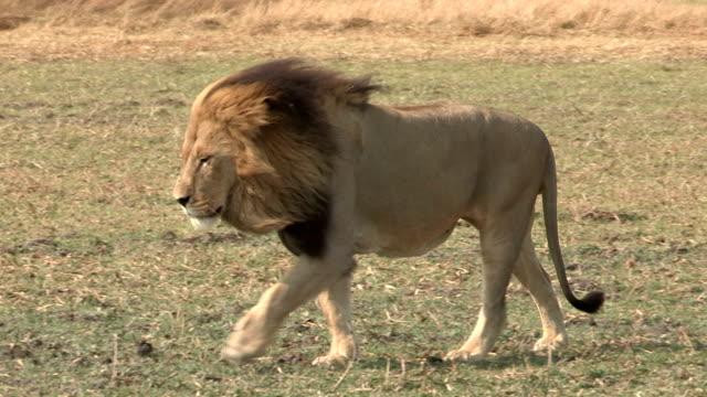 壮大な雄ライオンを歩く平原 - 動物の雄点の映像素材/bロール