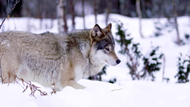 magnificent wolf at a distance in beautiful winter forest - lupo video stock e b–roll