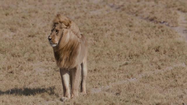 prächtigen männlichen löwen zu fuß über die afrikanische steppe, botswana - männliches tier stock-videos und b-roll-filmmaterial