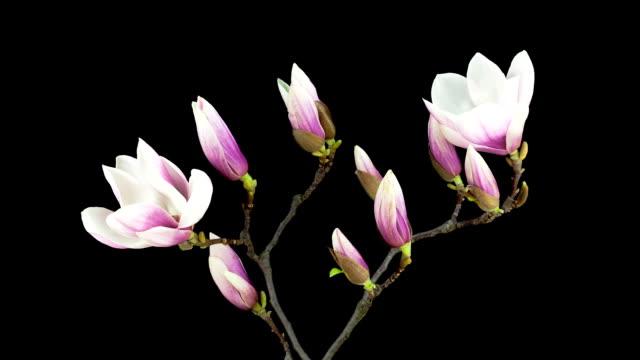 Magnolia blossom; TIME LAPSE video