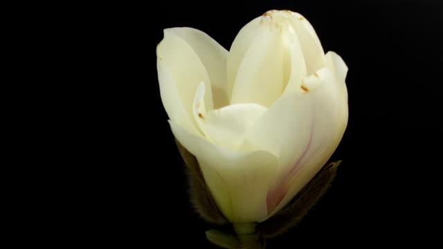 magnolia bud video