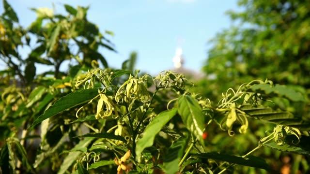 Magnolia champaca or Bungong Jeumpa in Acehnese languange. video