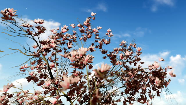 Magnolia flowers against beautiful blue sky, zoom out video