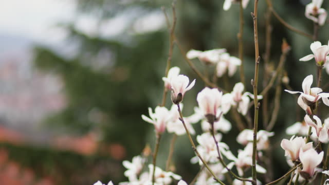 Magnolia flowers in spring