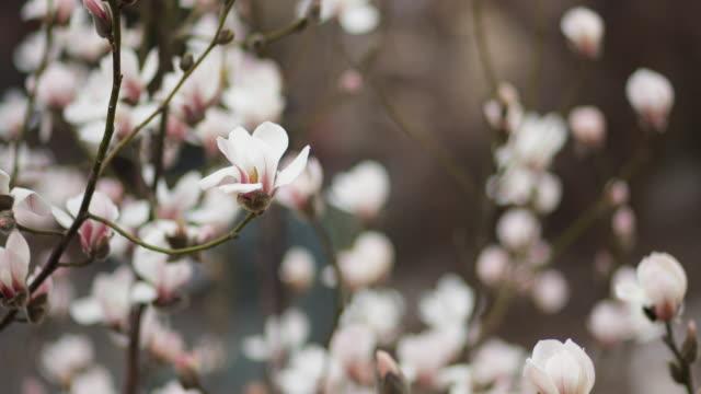 Magnolia flowers on the wind