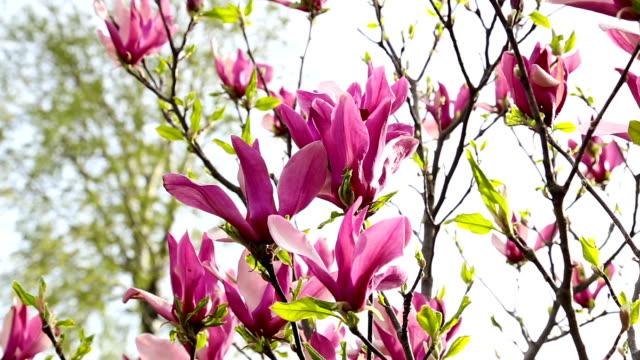 Magnolia flowers on tree branch video
